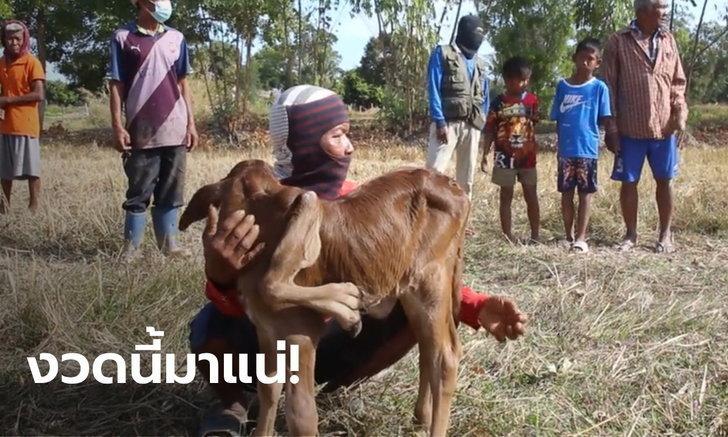 เลขเด็ด ลูกวัว 5 ขา 6 เท้า